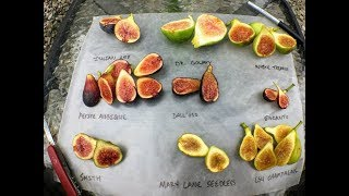 Tasting 9 FIG Varieties: Side by Side Comparison