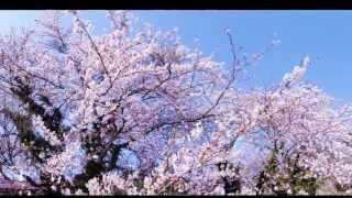 隠岐の桜色々集めてみました。