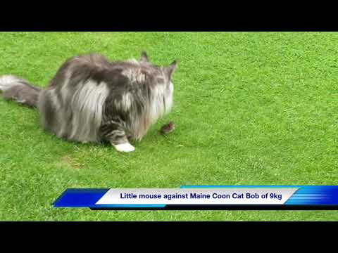 Maine Coon Cat Bob against small Mouse