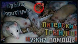 Спасено более 60 крыс, или ТРЫНДЕЦ в Питере! (Fancy Rats | Декоративные Крысы)