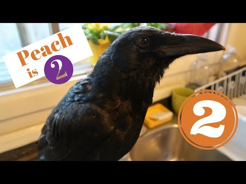 PET CROW 2 YEARS