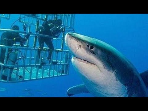 this-is-the-biggest-great-white-shark-ever-caught-on-camera