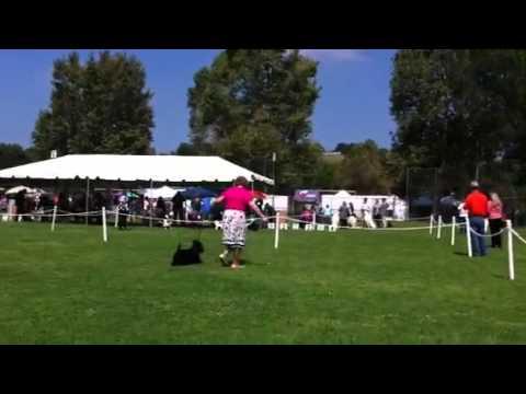 Scottish Terrier Competition Rio Hondo KC 5/5/12