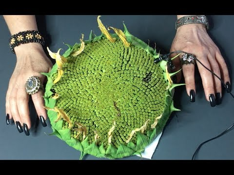 ASMR Extracting Sunflower seeds!!