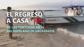 El regreso a casa de las tortugas en el archipiélago de Galápagos