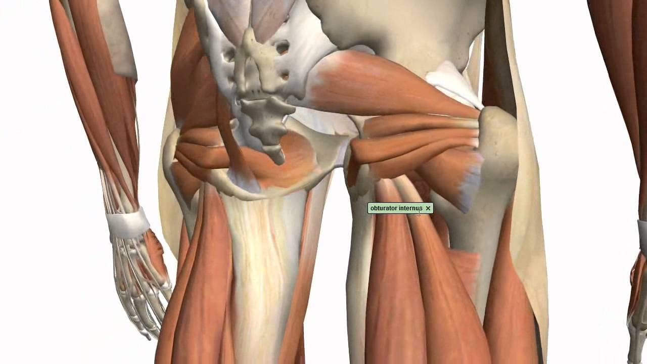 muscles of the thigh and gluteal region part 1 anatomy