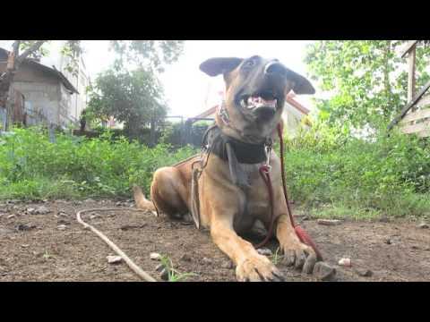 Protection dog training - Food Refusal