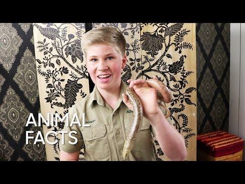 Animal Facts with Robert Irwin: European Legless Lizard