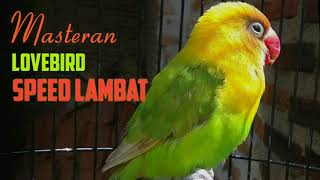 Download Mp3 Masteran Lovebird Durasi Panjang Speed Lambat