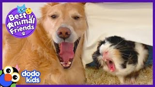 Pippin The Dog Has A Guinea Pig Shadow | Animal Videos For Kids | Dodo Kids: Best Animal Friends