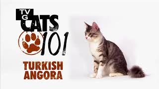 Турецкая ангора 101Kote.ru Turkish angora 101Cats