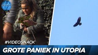 Kip valt ten prooi aan roofvogel! - UTOPIA (NL) 2018