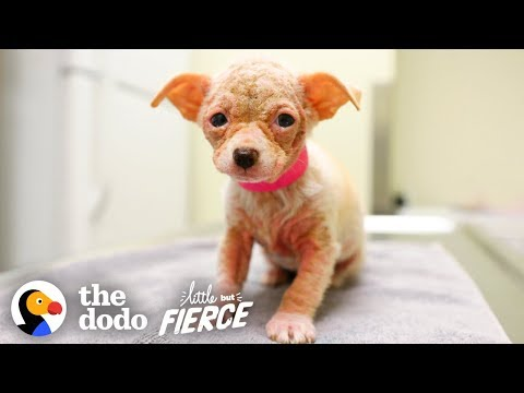 Watch Hairless 'Alien' Puppy Grow Up to be the Cutest Dog | Little But Fierce