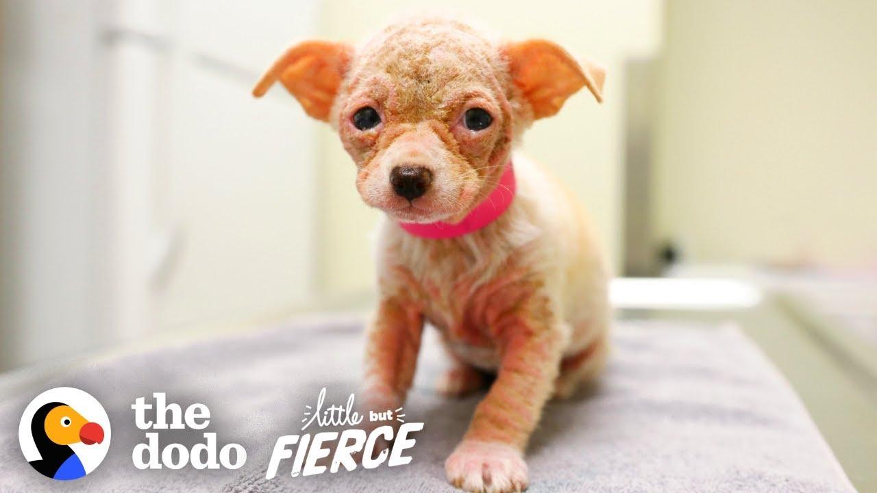 Watch Hairless 'Alien' Puppy Grow Up to be the Cutest Dog   Little But Fierce