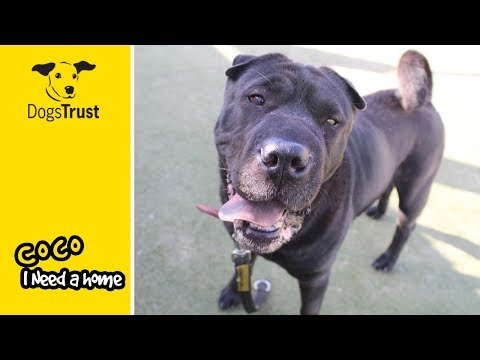 Coco is a Deaf Shar-Pei, Who Likes to Have Lots of Cuddles and Fuss! | Dogs Trust Manchester