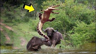 Las Batallas Mas Épicas De Animales - Cocodrilo vs Bufalo - Canguro vs Emu