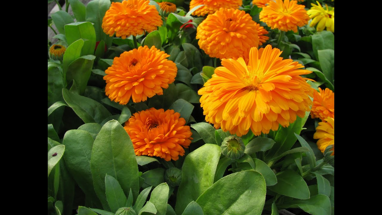 Flower Seeds Online Medical Calendula