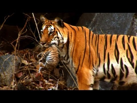 Wild tiger cub - for the first time on film - David Attenbor