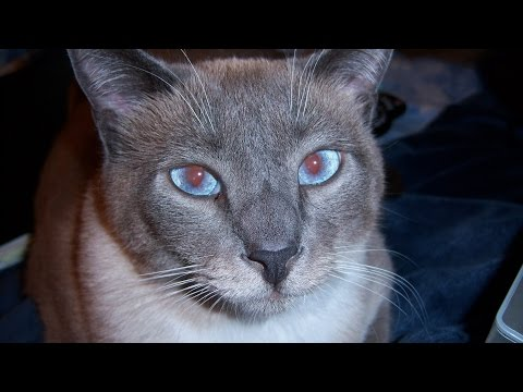 Siamese Cat Won't Stop Talking - Merlin's Audition For Talking Animals Klaatu42