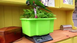 How to weigh your parrot easily and stress free