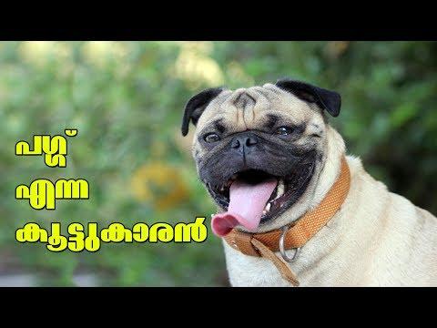Pug dog l Dog farming kerala I പഗ്ഗ് എന്ന കൂട്ടുകാരൻ