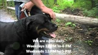 Honey Bear The Sweetest Rottweiler Gal Ahs Tinton Falls, N.j., Aug. 19,2012