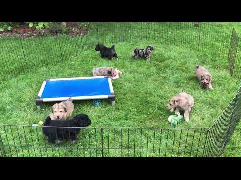 Whitney's Schnoodles June 27, 2019 outside playing