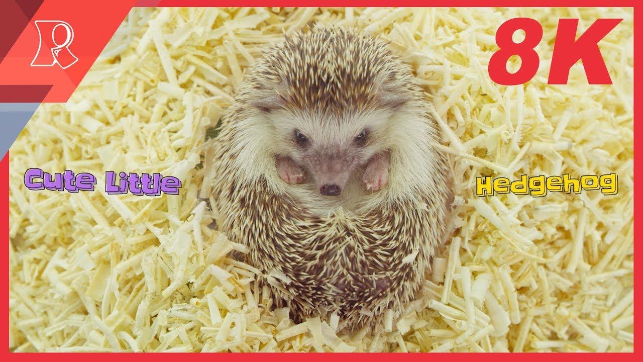 [8K] Cute Little Hedgehog