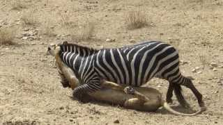 Amazing: Lion vs Zebra | Lion kills zebra almost | Lion hunting zebra | Zebra escapes lion killing