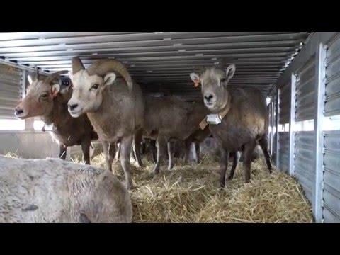 Sheep Capture With Montana Fish, Wildlife & Parks 2016