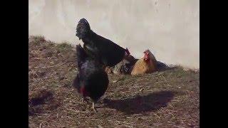 szczęśliwe kury
