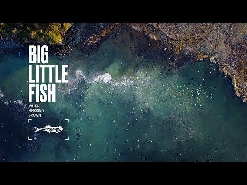 When Herring Spawn | #BIGlittlefish