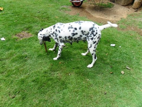 Dalmatian puppy lets play in evening