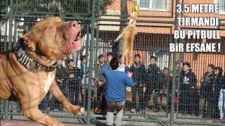 3.5 METRE TIRMANDI ( BÖYLE PİTBULL TÜRKİYEDE AZ BULUNUR ) Power Pitbull, Best dogs