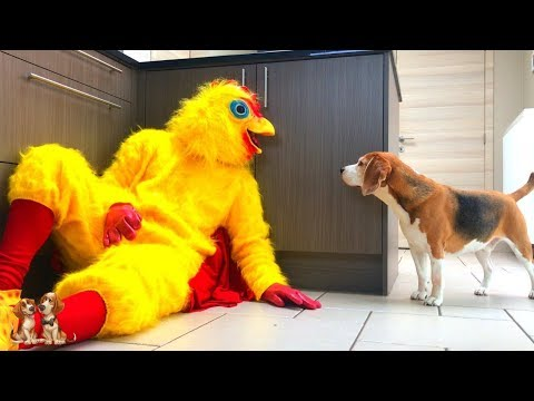 Dogs Vs Giant Chicken Prank : Funny Dog Louie The Beagle