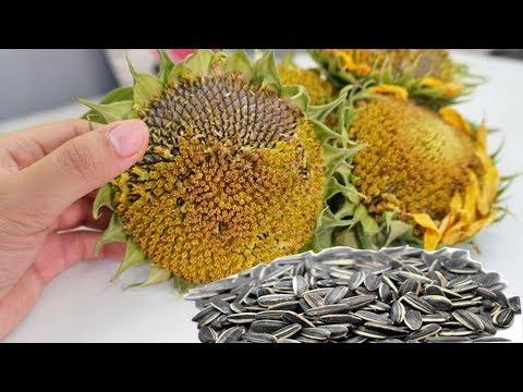 Cận cảnh lấy HẠT HƯỚNG DƯƠNG khổng lồ siêu đã ghiền – Most Satisfying Harvesting Sunflower Seeds