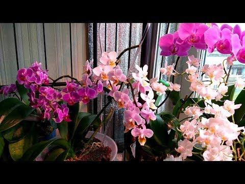 Уцененная  орхидея порадовала. Орхидеи в марте и другие цветы