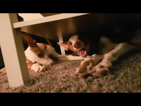Ibizan hound Vs Ibizan Hound Puppy