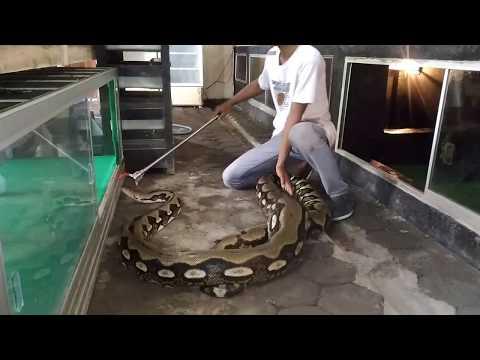 Snake Phyton Ular Terbesar Reticulatus Phyton Tiger Indonesia OMAH REPTILE NGANJUK