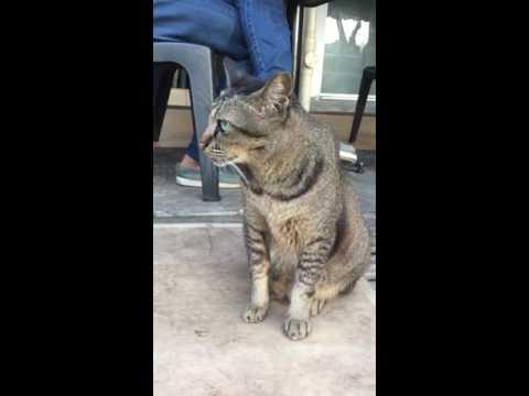 The beautiful Singapura Cat!,