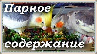 ПАРНОЕ СОДЕРЖАНИЕ ПОПУГАЕВ. Проблемы, размножение, птенцы.
