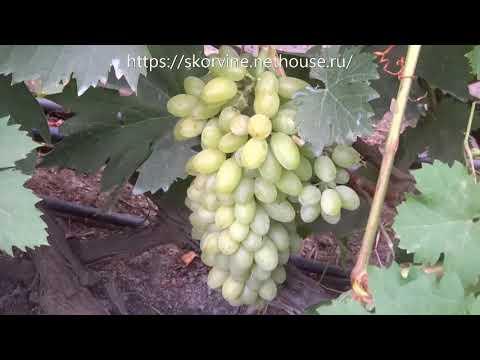 Сорта винограда Кишмиш Арсеньевский 2017