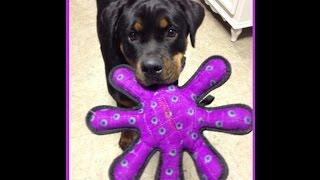 Sami 1 Year Rottie Puppy