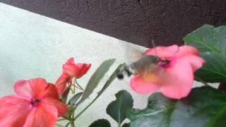 Kolibri moljac