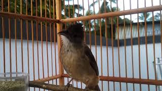 Gambar cover Burung Kapas Tembak Gacor Ngamuk Suara Kasar Mantap Buat Masteran