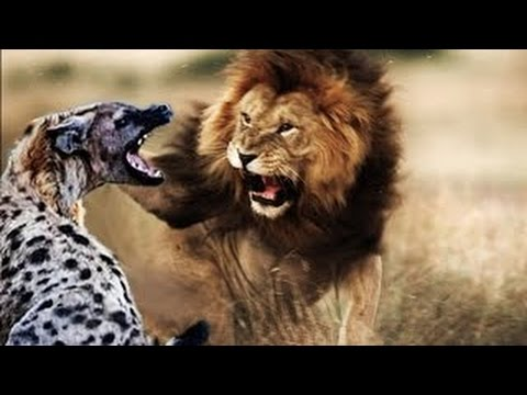 HIENAS Vs LEÃO Luta Até A Morte ( Hyenas Vs Lion - Fight To Death )