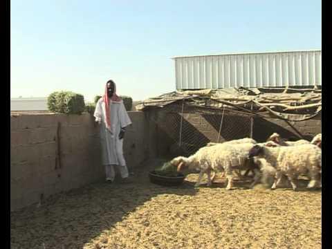 Wheat farming in Saudi Arabia