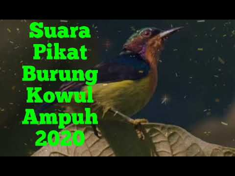 Suara Pikat Burung Kowul 2020 Youtube
