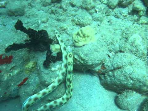 Goldenspotted Eel - St Lucia