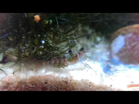 2013-12-12 Alpheidae Potamalpheops 紫晶蝦